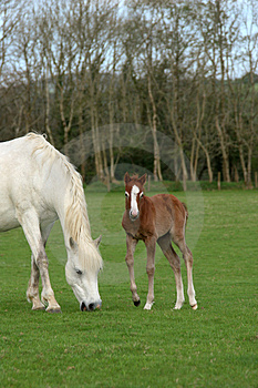 Pony And Foal Royalty Free Stock Photo - Image: 4722415