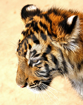 Sad Tiger Cub Royalty Free Stock Images - Image: 4724169
