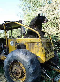 Bear On A Tractor Royalty Free Stock Image - Image: 4730046