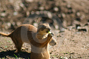 Prairie Dog Royalty Free Stock Image - Image: 4736296