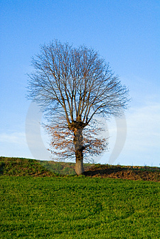 Dry Tree Free Stock Image