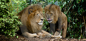 Lions Image stock - Image: 4745481