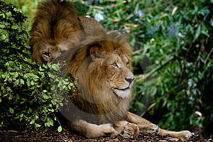 Lions Royalty Free Stock Photo - Image: 4745565