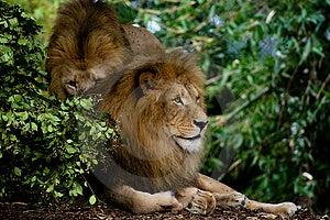 Leões Foto de Stock Royalty Free - Imagem: 4745565