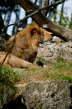 Lions Stock Images - Image: 4746344