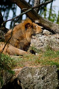 Leões Imagens de Stock - Imagem: 4746344