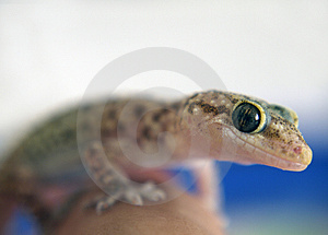 Curios Gecko Stock Photography - Image: 4749242