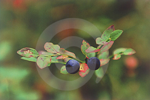 Two Berries Of Bilberry Close Up. Stock Photo - Image: 4750660