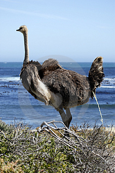Southern Ostrich Struthio Camelus Royalty Free Stock Photography - Image: 4761877