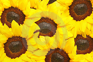 Sunflowers Royalty Free Stock Photo - Image: 4772625