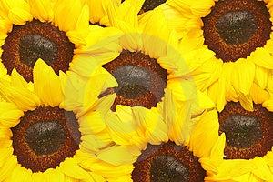 Sunflowers Royalty Free Stock Photo - Image: 4772625