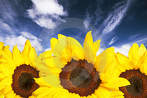 Sunflowers Stock Image - Image: 4772801