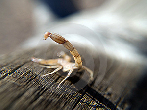 Young Scorpion Showing His Tail Royalty Free Stock Images - Image: 4773269
