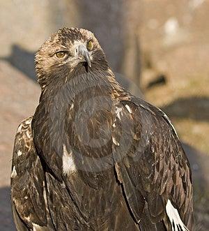Predator Bird Royalty Free Stock Image - Image: 4781656