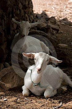 Resting Goats Royalty Free Stock Photo - Image: 4781905