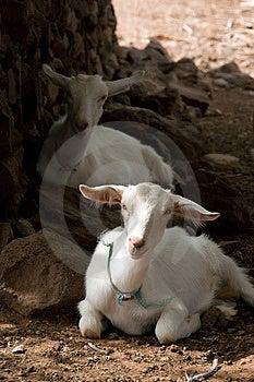 Stillstehende Ziegen Lizenzfreies Stockfoto - Bild: 4781905