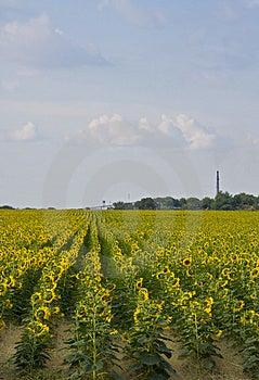 Sunflower Plantation Royalty Free Stock Photography - Image: 4782547