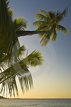 Coconut Trees On Moorea In South Seas Royalty Free Stock Images - Image: 4790209