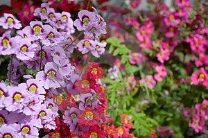 Stock Image - Dwarf Schizanthus