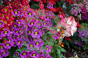 Stock Photography - Dwarf Schizanthus Flowers.