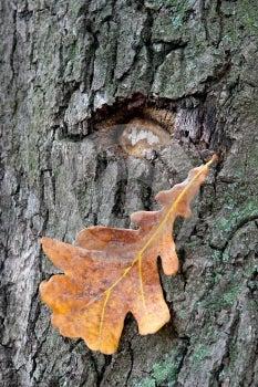 Old Oak Stock Images - Image: 487284
