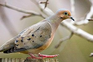 Pigeon Walking Stock Photo - Image: 4803860