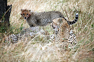 Cheetah Cub Standing Watchful In The Grass Stock Images - Image: 4807044