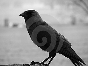 Raven Close Up Royalty Free Stock Photos - Image: 4810248