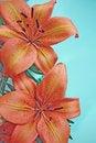 Orange lily flowers