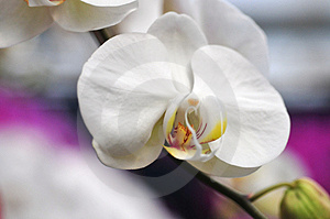 Beautiful Orchid Royalty Free Stock Photography - Image: 4820077