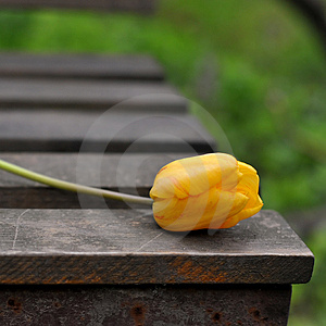 Wild Tulip Stock Photography - Image: 4824522
