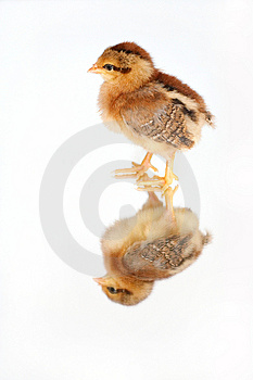Chicken on mirror Free Stock Images