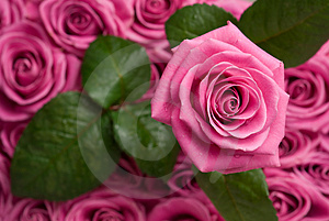 Romantic rose. Stock Photo