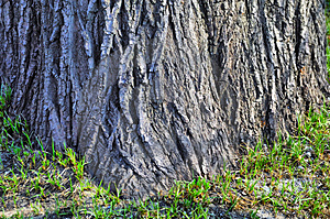 Thick Tree Bole Royalty Free Stock Photo - Image: 4860405