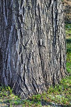Thick Tree Bole Royalty Free Stock Photos - Image: 4860438