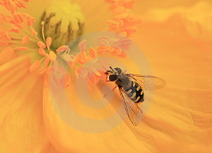 Honeybee Approaches Golden Stamen Royalty Free Stock Image - Image: 4872766
