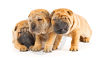 Beautiful sharpei puppies Stock Photos