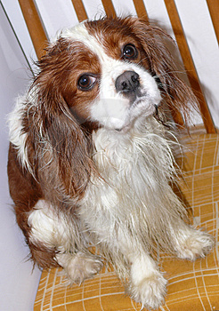 Cavalier King Charles Spaniel Royalty Free Stock Images - Image: 4899629