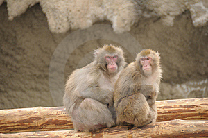 Japanese Macaque Stock Photos - Image: 4904993