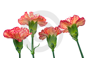 Carnation Stock Photos - Image: 4907723