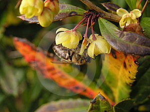 Bee Gathering Pollen Stock Photos - Image: 4909633