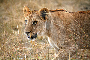 Lion Cub Walking Through The Grass Stock Images - Image: 4916204