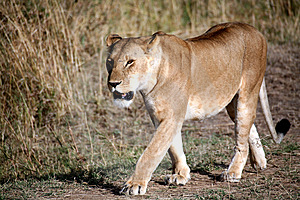 Lioness Walking Through The Grass Stock Images - Image: 4916254
