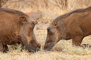Warthogs Stock Photos - Image: 4929823