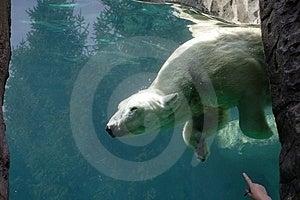 Bear In Captivity Royalty Free Stock Image - Image: 4935736