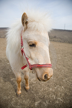 Portrait Of A Sad White Horse Stock Image - Image: 4939721
