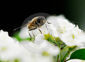 Bee Royalty Free Stock Image - Image: 4939886