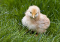 Cute fluffy chicken