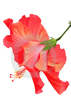 Beautiful red hibiscus Royalty Free Stock Images