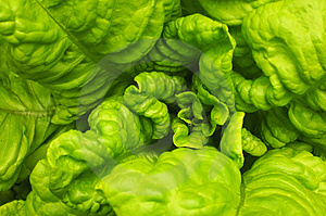 Green Lettuce Royalty Free Stock Photography - Image: 4966447